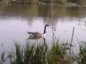 Goose on the fishing lakes in Wiltshire